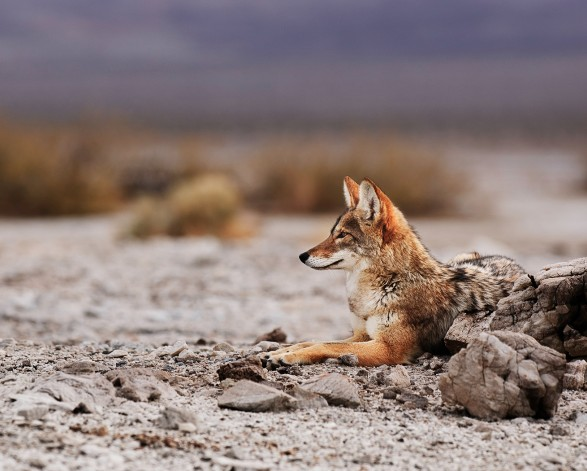 coyote resting in desert