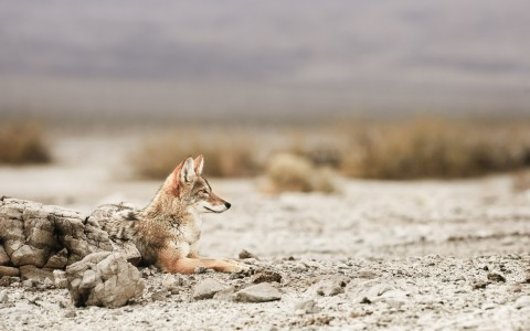 coyote resting in the dessert