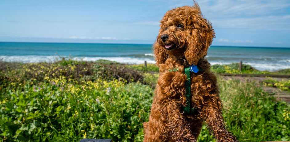 brown dog sitting in front of ocean
