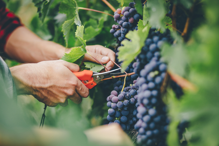 man harvesting grapes in vineyard