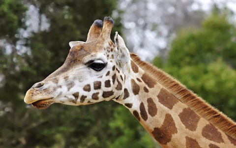 Closeup Side View of Giraffes Head and Neck
