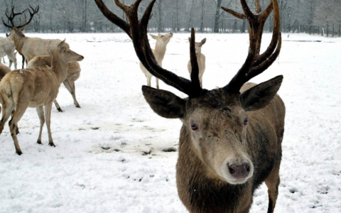 reindeer in snow