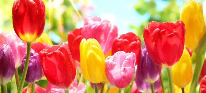 multi colored tulips in a field