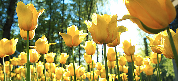 yellow tulips in a forested field