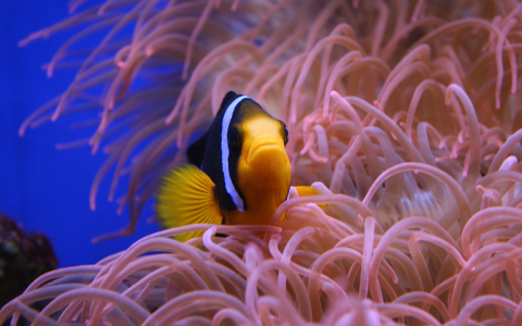 clown fish on pink