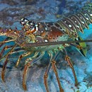 spiny lobster under water
