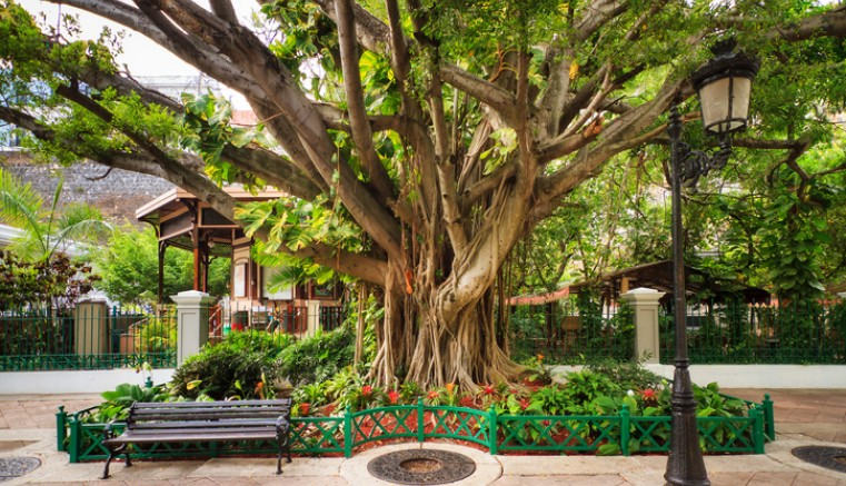 banyan tree with bench