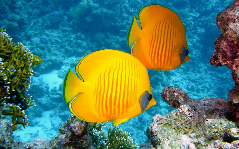 tropical fish yellow and orange