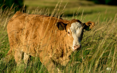 cow in field of grass
