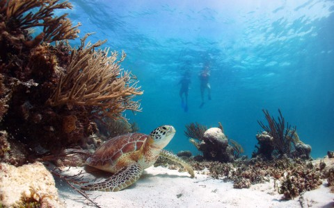 snorkelers swimming above sea turtle