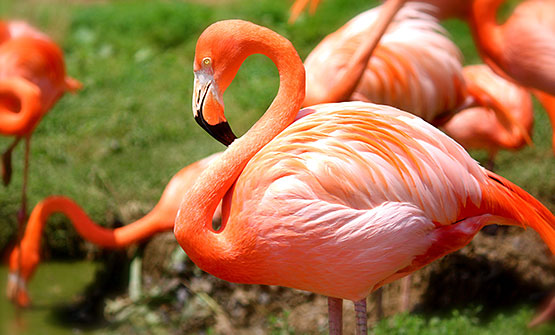 Flamingos standing in greenery