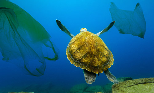 Turtle Swimming in the ocean with plastic bags