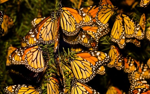 Marvel at the Monarch Migration