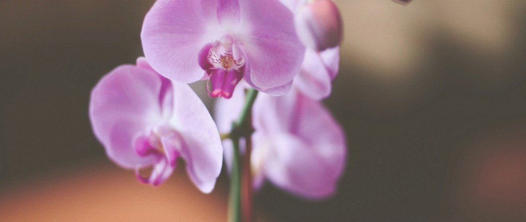 Close up on purple orchid
