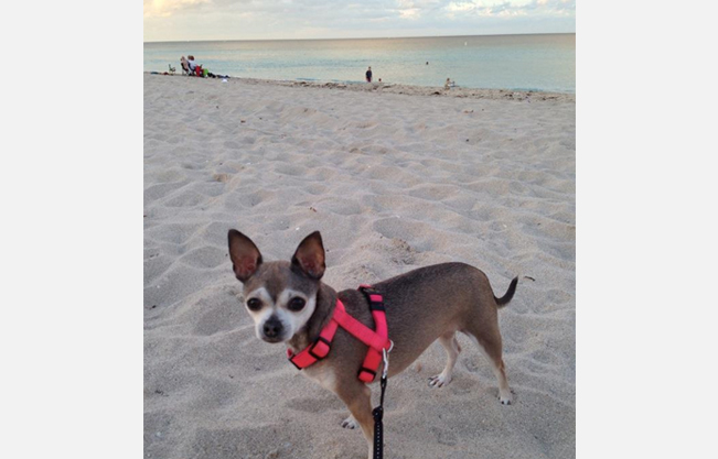 Brown chihuahua on beach