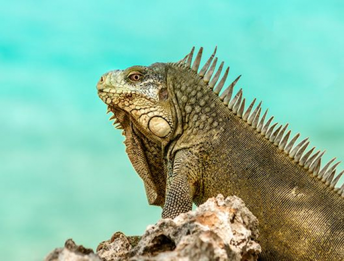 Close up of iguana on rock with water in the back