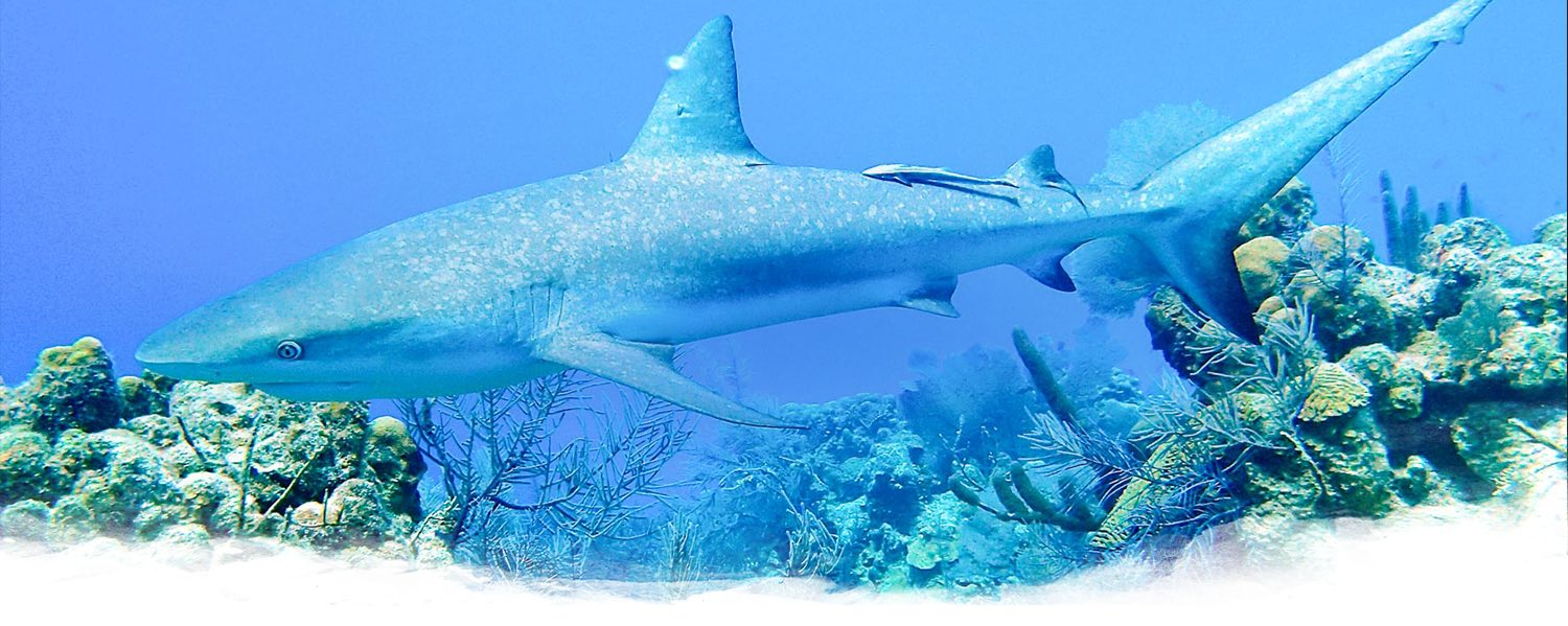 shark swimming underwater over a reef