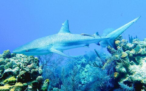 shark swimming over a coral reef