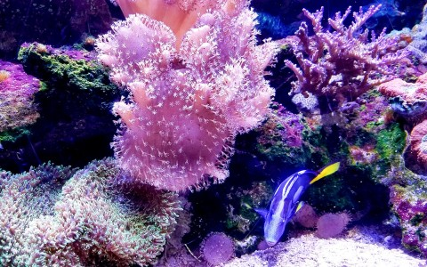 purple fish swimming next to a purple and pink coral reef