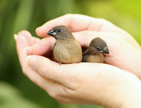 Close up of hands holding 2 small birds