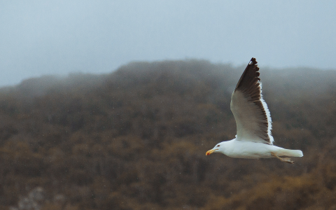 Seagull Soaring the Coastline