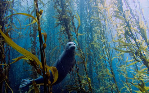 sea lion in kelp forests