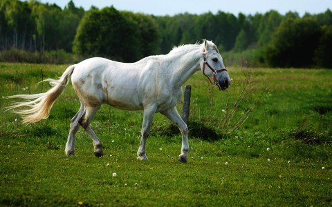 White horse trotting through a field