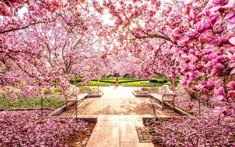 Two wooden benches facing each other surrounded by cherry blossom trees