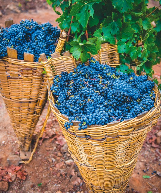 baskets with grapes in vineyard