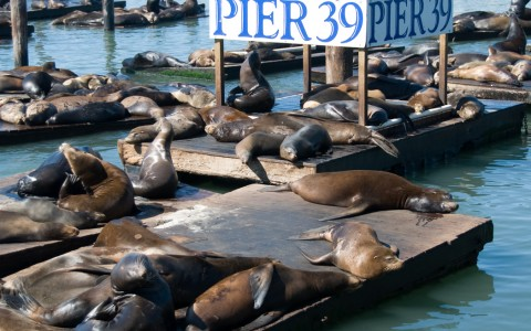 Seals basking on Pier 39