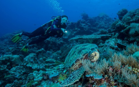 Woman scuba diving by coral & sea turtle