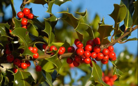 close up of Holly Tree