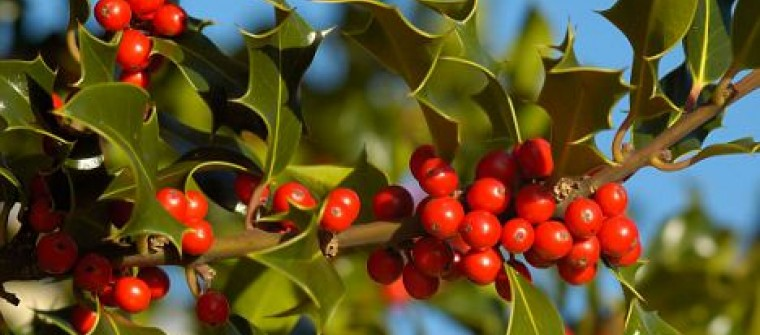 close up shot of a holly tree