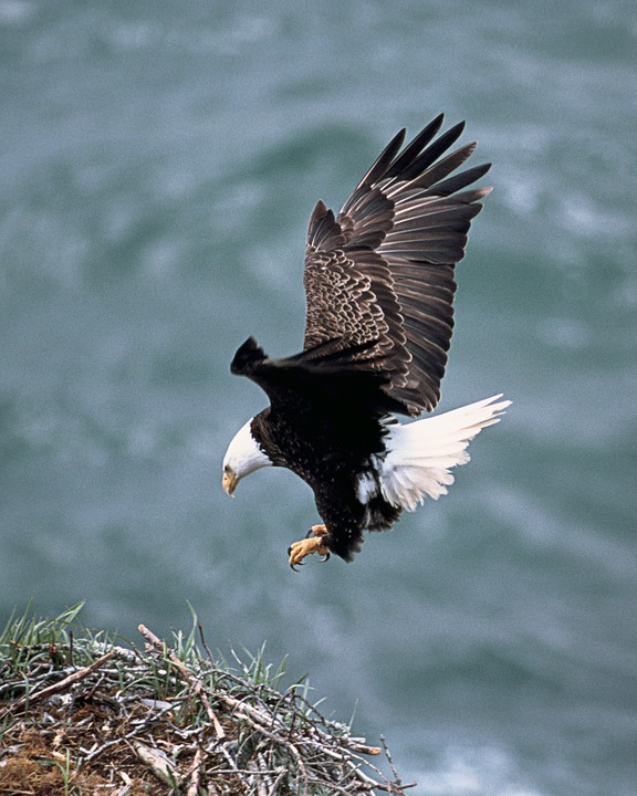 flying bald eagle landing on a hilltop