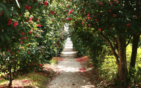 Camellia Walks Charleston