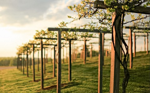 wooden structures needed to vine around grape plants