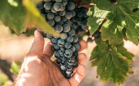 zoomed view of dark blue grapes on a vine