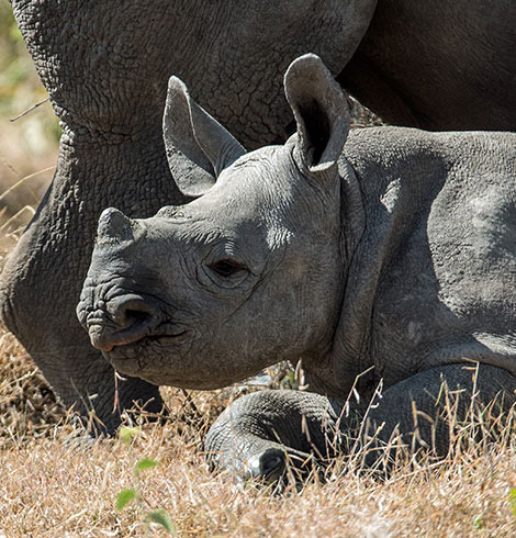 Baby rhino laying on the ground next to his mom