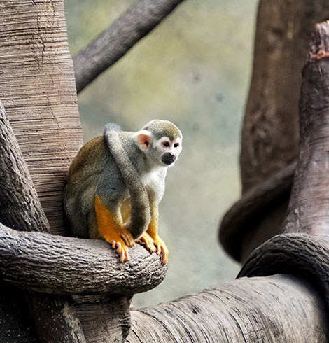 Squirrel monkey sitting on a tree branch