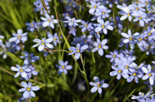 blue eyed grass