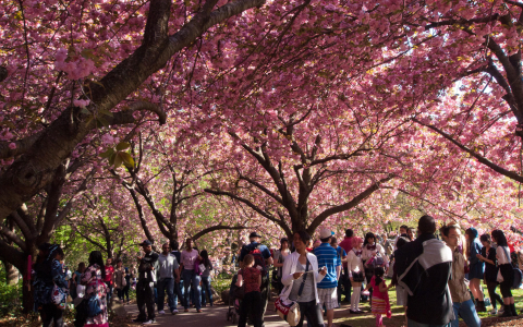 People under cherry blossom trees