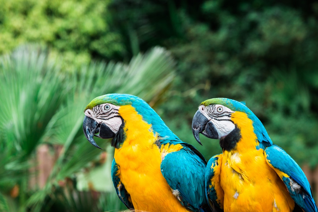 yellow and blue macaws
