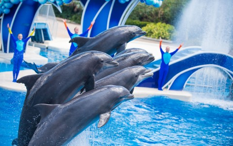 Five dolphins performing at Seaworld show