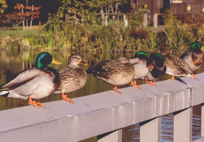 Ducks standing on ledge in Neary Lagoon Park