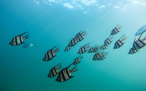 A school of white and black striped fish under water
