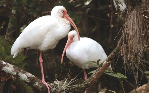 Two white ibis birds in a tree