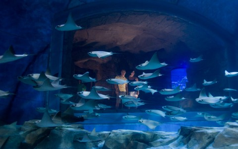 Manta Rays swimming in a dark blue aquarium