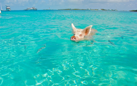 Swimming Pigs The Bahamas