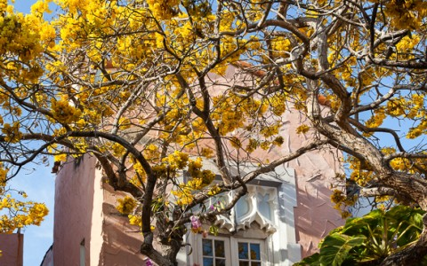 Yellow flowered trees in front of peach colored building