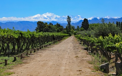 malbec grapes in the mendoza wine country of argentina